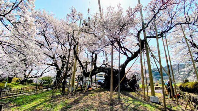 神代桜 正面から
