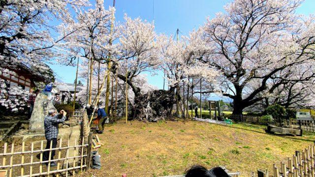 神代桜 背面から